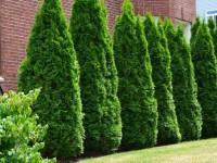 Живой забор на даче — ТОП-150 фото, преимущества и недостатки, советы по выбору растений и уходу, мастер-класс по созданию своими руками